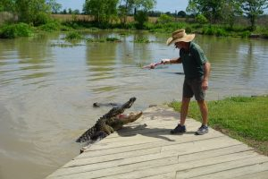 alligator feeding 2