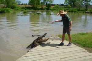 alligator feeding 2