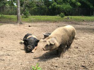 Pigs/Hogs